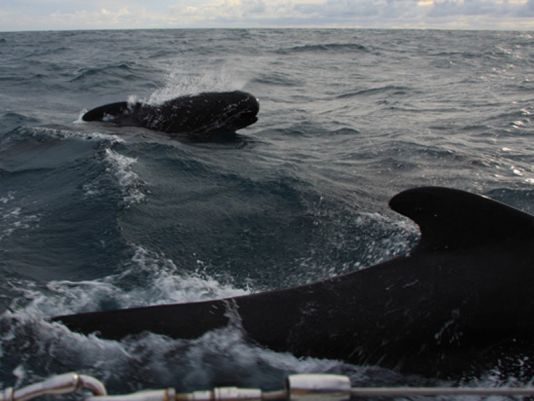 Pilot whale' s songs hours along in North Atlantic