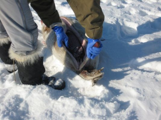 When the Inuits kill a seal, they usually dissect it on the spot. This is a question of both freshness and weight.